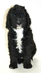 Willow S F1b Standard Bernedoodle Puppies Willow Brooke