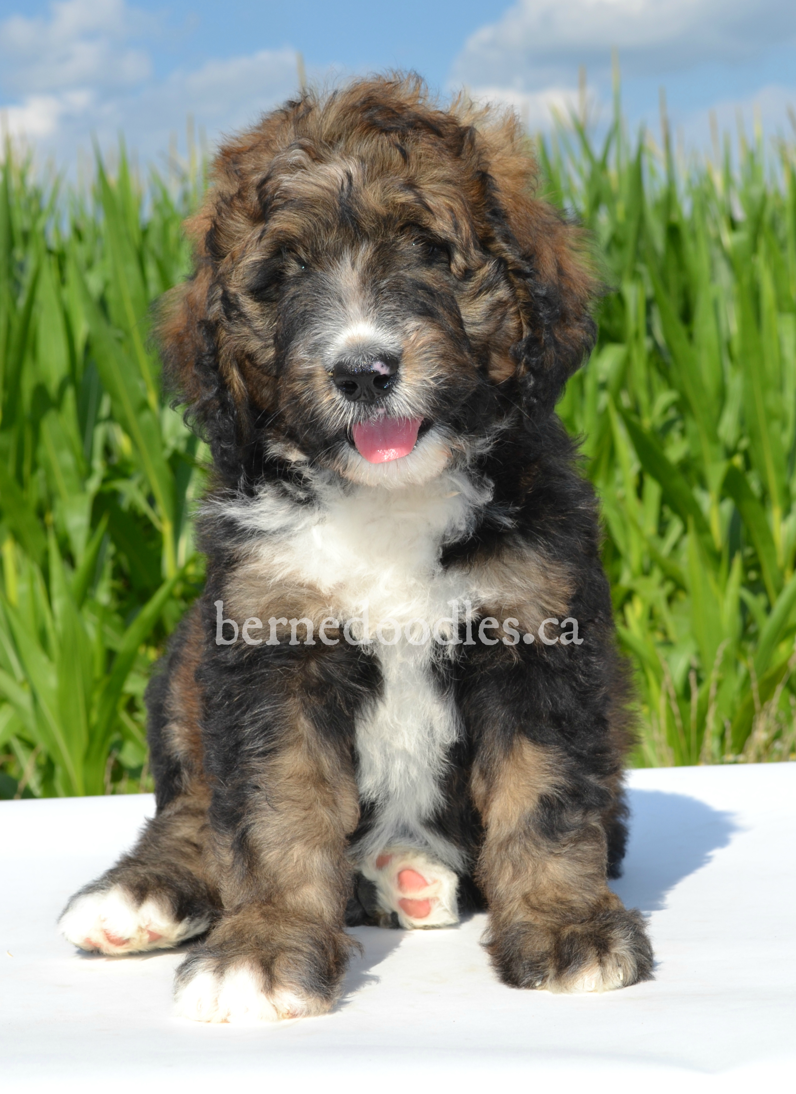 Mollys F1 Standard Bernedoodle Puppies Willow Brooke