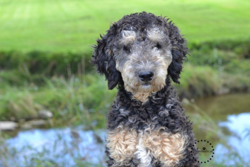 Willow Brooke Bernedoodle_1